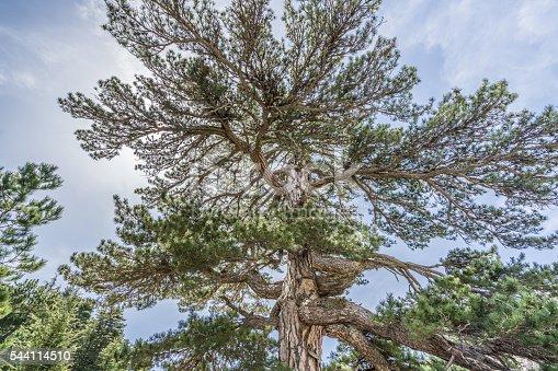 istock Giant Pine Tree 544114510