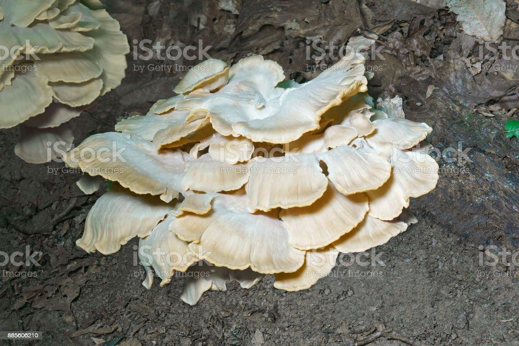 Giant polypore fungi stock photo