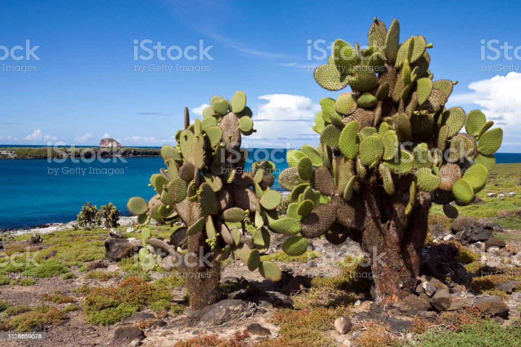Giant Prickly Pear Cactus On South Plaza Island In The