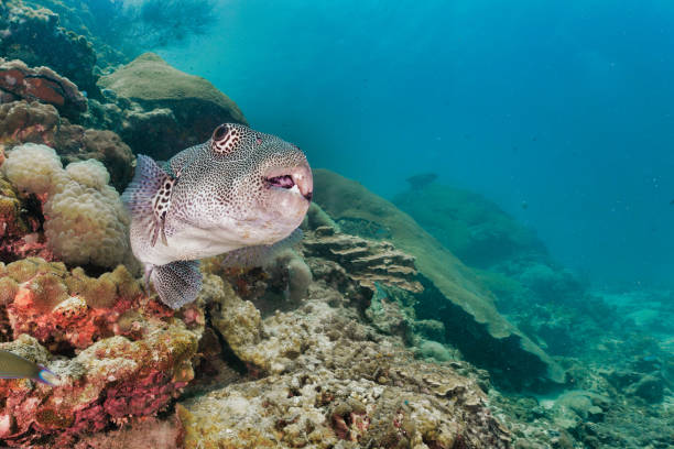 Giant Puffer fish (Arothron stellatus) on underwater coral reef stock photo