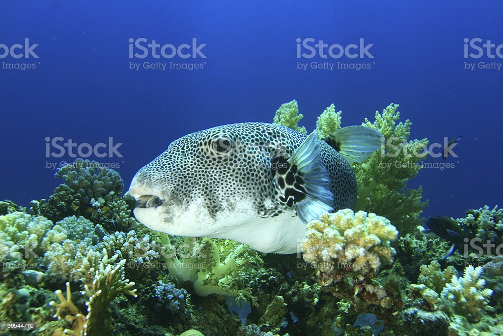 Giant Puffer royalty-free stock photo