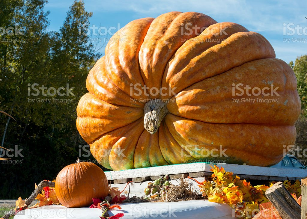 Giant pumpkin on display at roadside of a country road stock photo