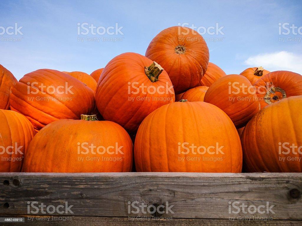 Giant pumpkins on blue sky stock photo