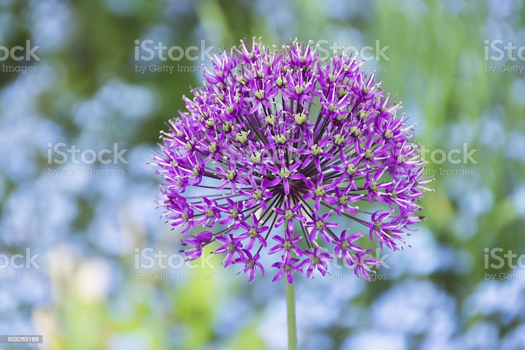 Giant purple allium against blue and green. stock photo