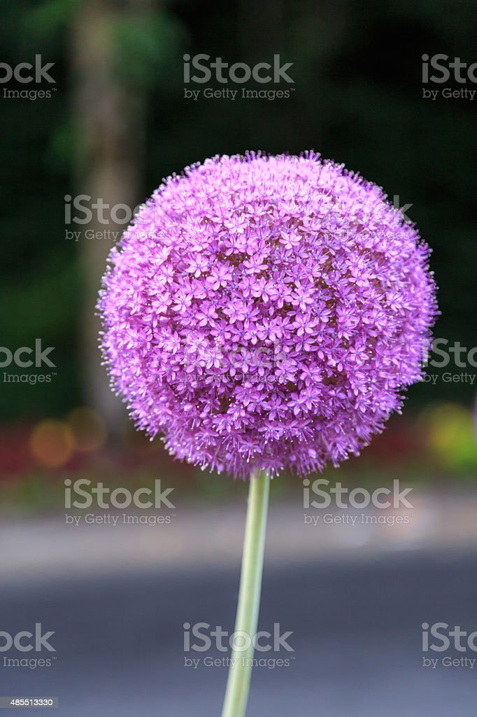 Giant Purple Allium Flower in the Garden​​​ foto