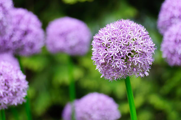 Giant Purple Allium Flowers in a garden foto
