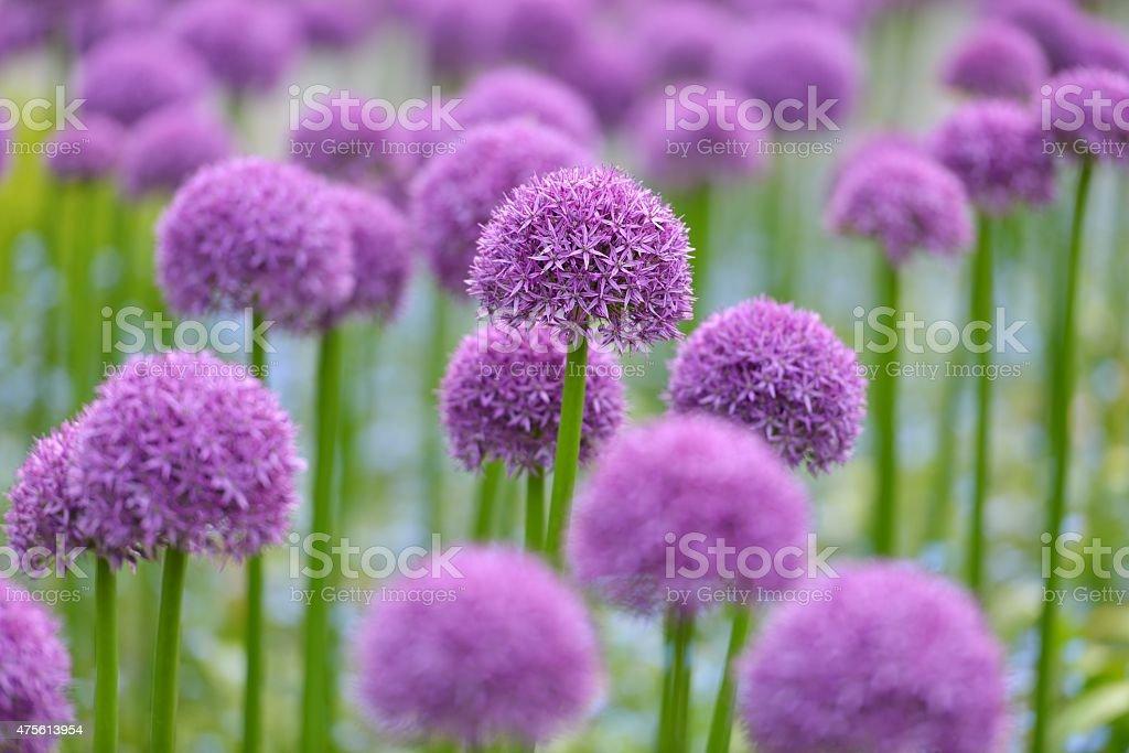 giant purple allium flowers stock photo