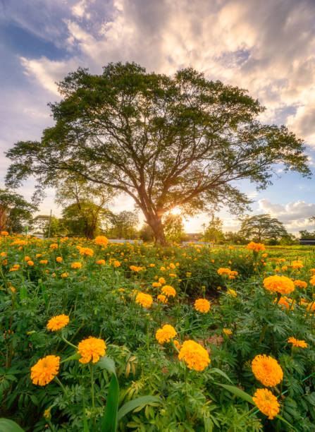 Giant rain tree in blossom marigold garden at evening stock photo