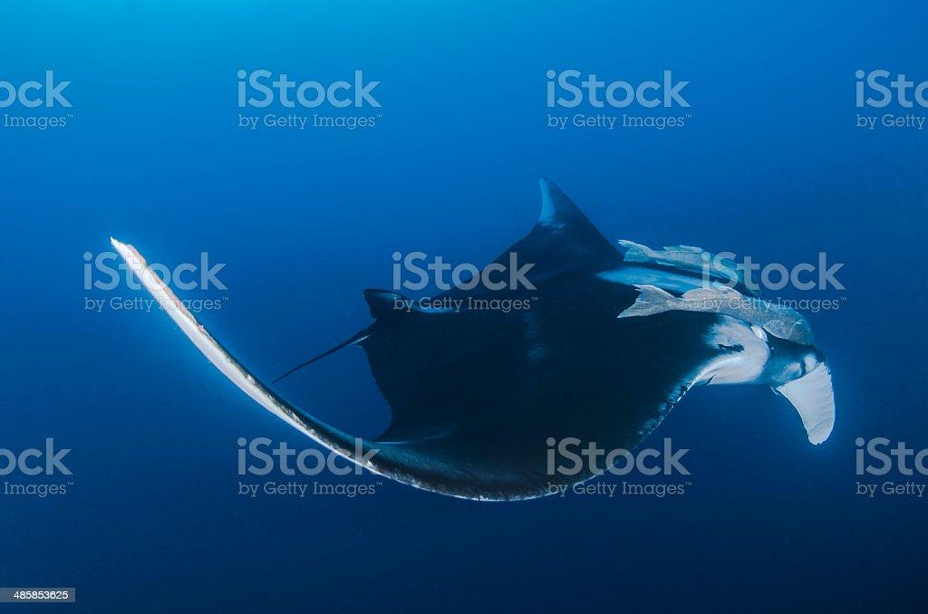Giant Ray stock photo
