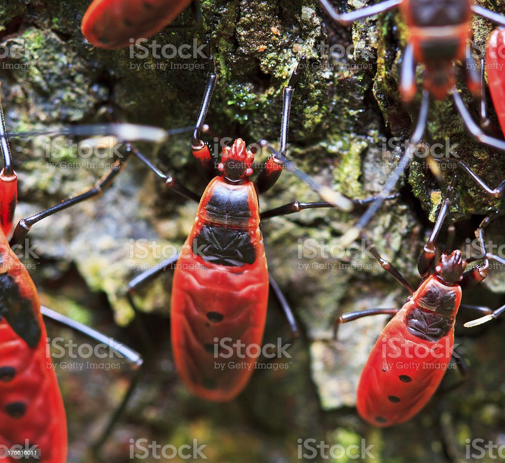 Giant Red Bug Rainforest Insects in Thailand royalty-free stock photo