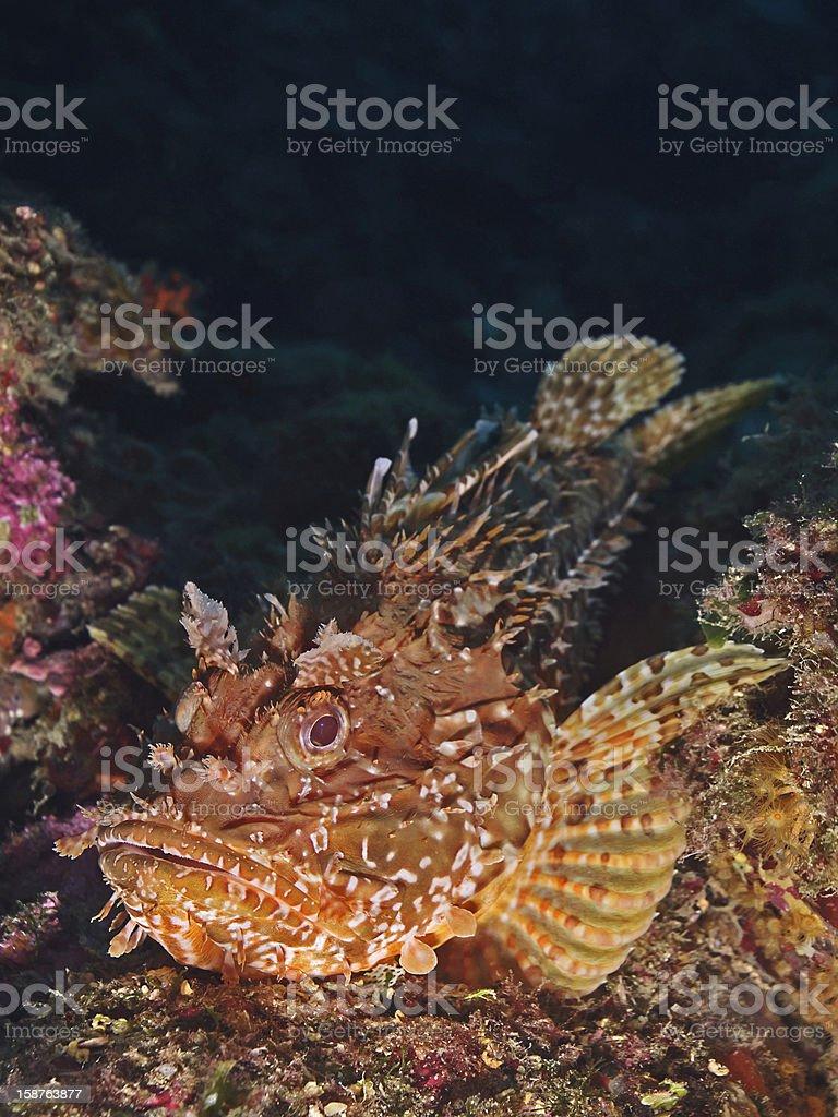Giant red rockfish (Scorpaena scrofa) royalty-free stock photo