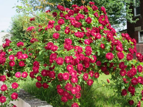 Giant red rosebush with multiple blooms. stock photo