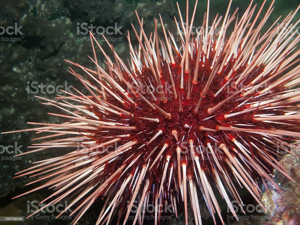 Giant Red Sea Urchin royalty-free stock photo