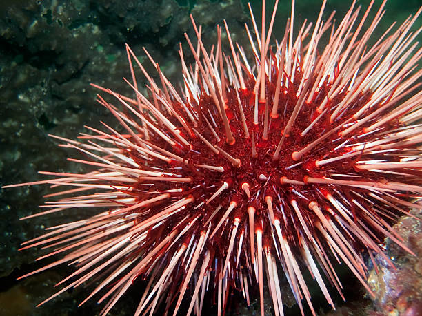 giant red sea urchin - naturediver stock pictures, royalty-free photos & images