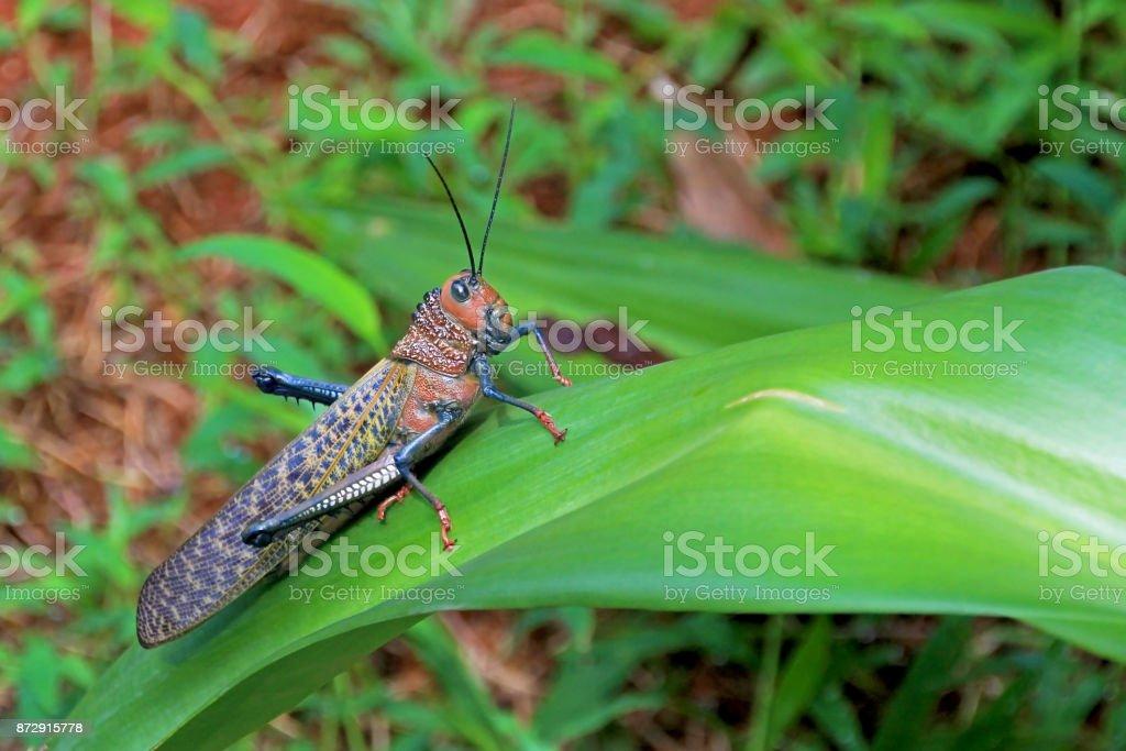 Giant Red Winged Grasshopper, Tropidacris Cristata, Costa Rica stock photo