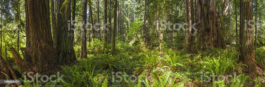 Giant Redwood grove in idyllic green forest wilderness panorama stock photo