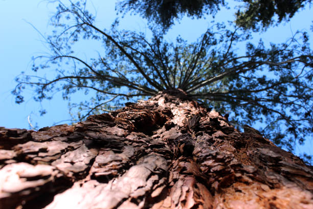Giant Redwood, Sequoia (Sequoiadendron giganteum) in Teich Park, Ax-les-Thermes, Pyrenees Ariegeoises, France stock photo