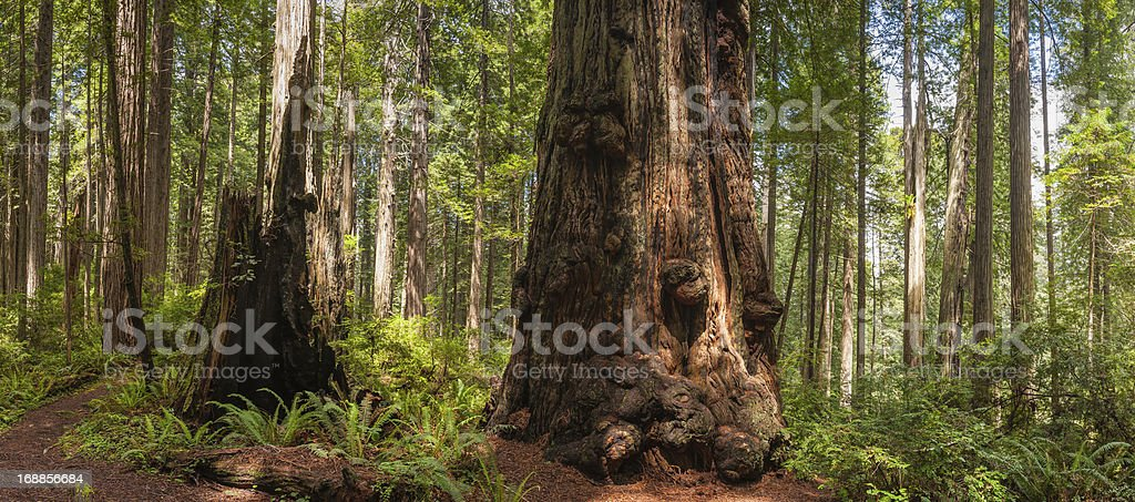 Giant Redwood trees in cloud forest wilderness panorama stock photo