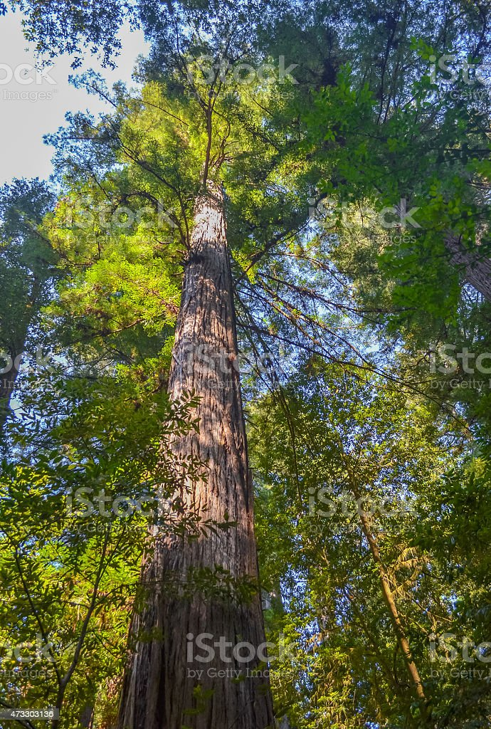Giant redwood trees in Redwood national park, California. stock photo