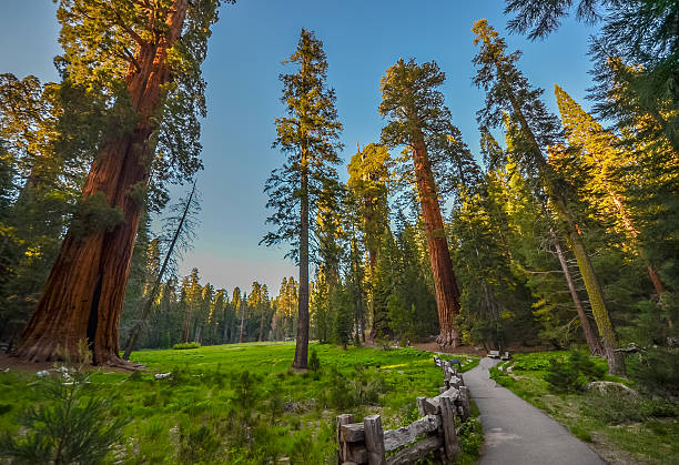 Giant Redwood trees in Sequoia national park, California. stock photo