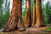 Giant redwood trees in Sequoia National Park, California, US