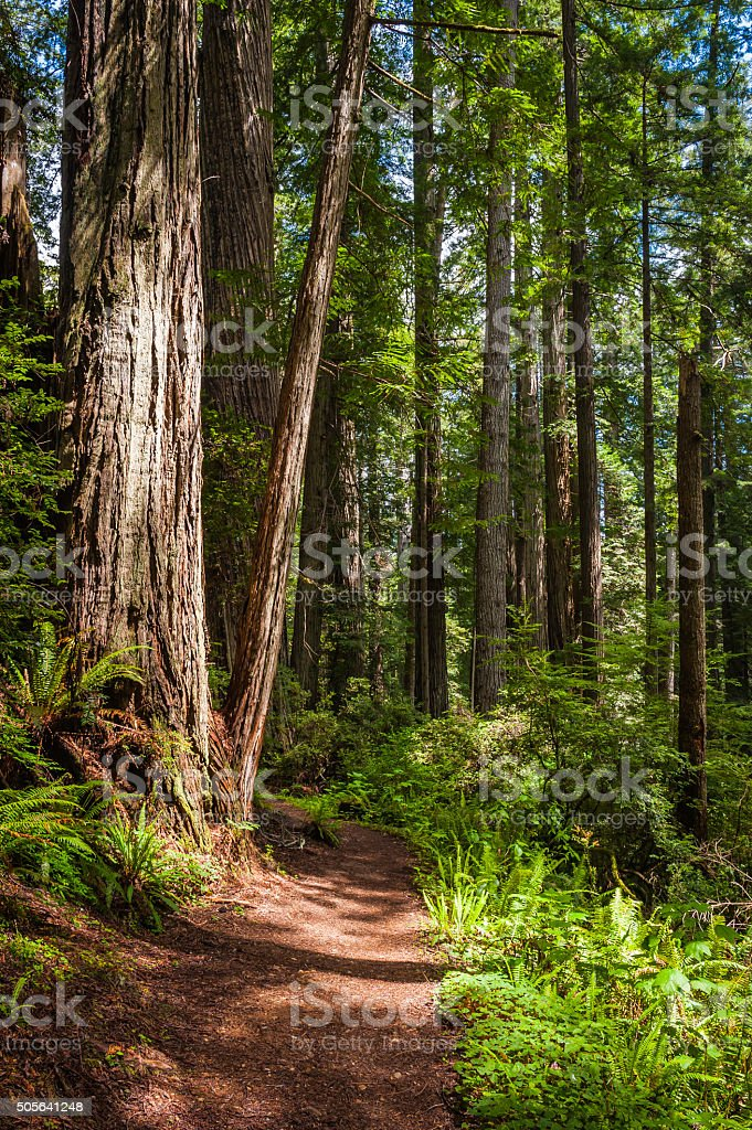 Giant Redwoods towering over earth trail through idyllic Sequoia forest stock photo