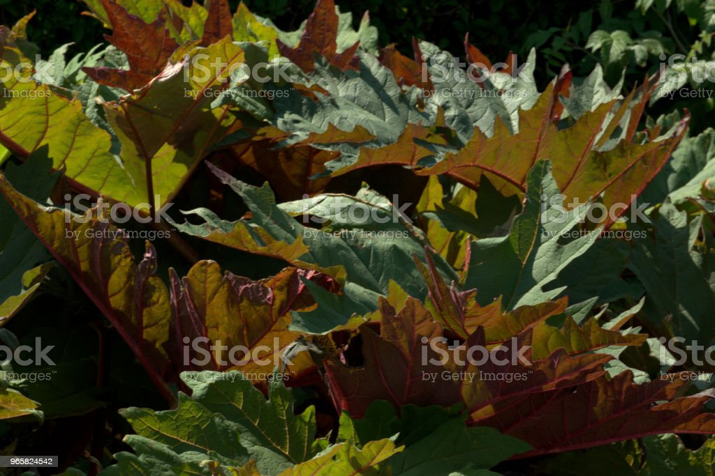 Giant rheum, Rheum palmatum - Royalty-free Alternative Medicine Stock Photo