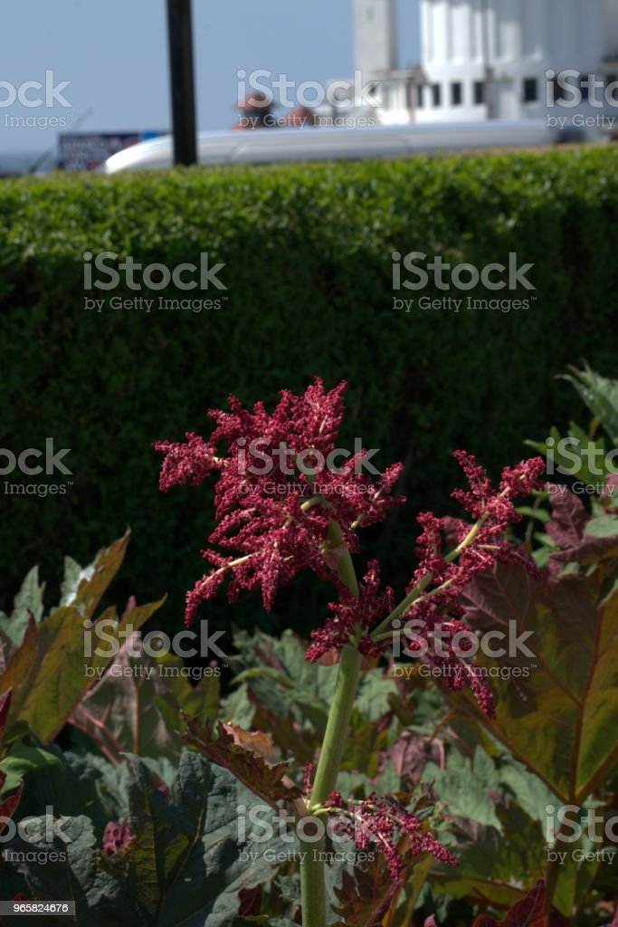 Reuze rheum, Rheum palmatum - Royalty-free Alternatieve geneeswijzen Stockfoto