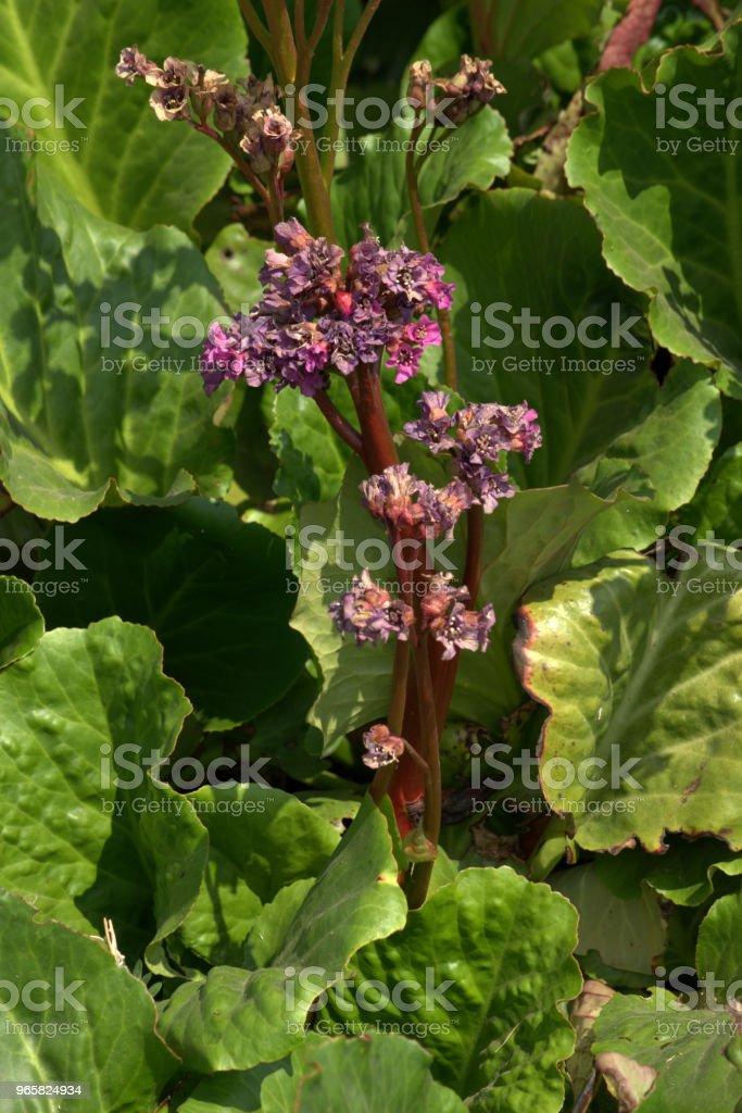 Giant rheum, Rheum palmatum - Стоковые фото Альтернативная медицина роялти-фри