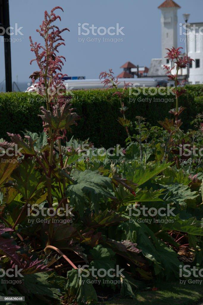 Giant rheum, Rheum palmatum - Royalty-free Alternative Medicine Stock Photo
