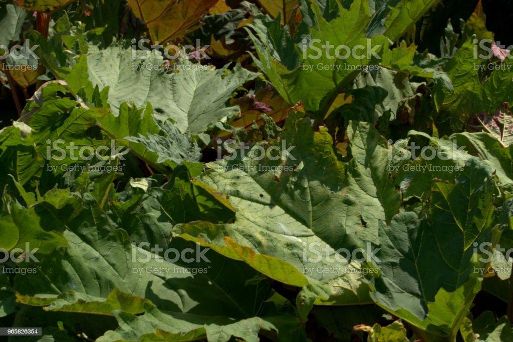 Giant rheum, Rheum palmatum - Royalty-free Botânica - Ciência de plantas Foto de stock