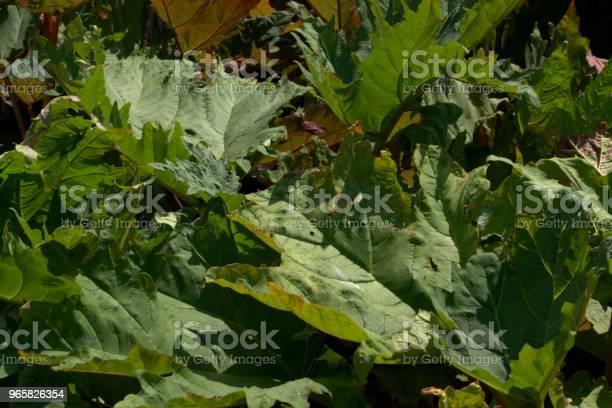 Giant Rheum Rheum Palmatum - Fotografias de stock e mais imagens de Botânica - Ciência de plantas