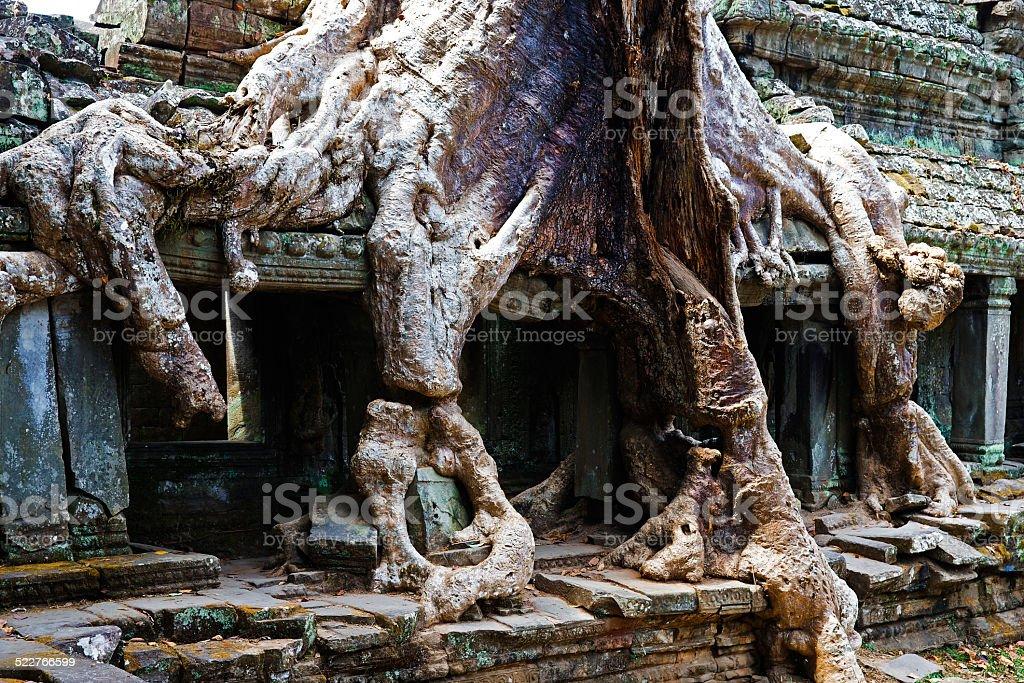 Giant Root, Cambodia stock photo