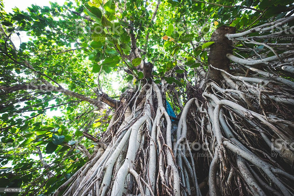 Giant Roots of Banyan Tree stock photo