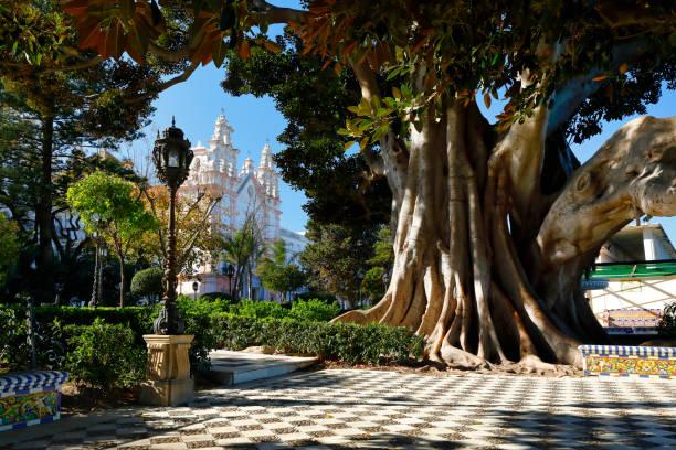 Giant rubber tree with Carmen Church (Iglesia del Carmen), Cadiz, Spain stock photo