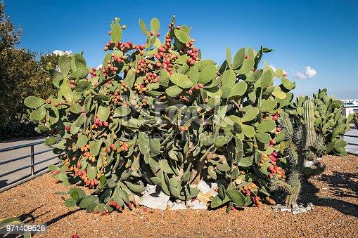Giant saguaro cactus  in Baku park, Azerbeijan.