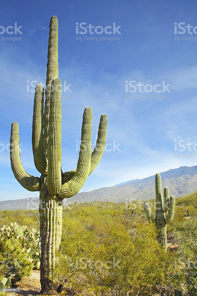 Giant Saguaro Cactus royalty-free stock photo