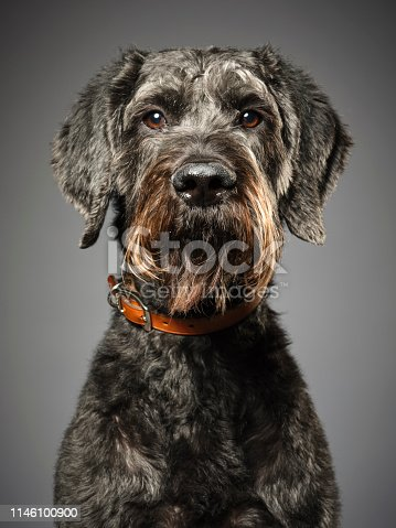 A studio portrait of a Giant Schnauzer Poodle mix dog, commonly called the Giant Schnoodle