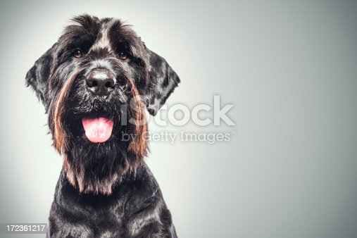 A profile portrait of a large purebred giant Schnauzer (Riesenschnauze) with a goofy grin on his face; looks like he's smiling for the camera, his tongue hanging out.  Vertical studio shot.