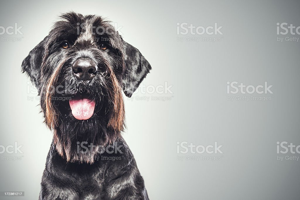 Giant Schnauzer Portrait stock photo