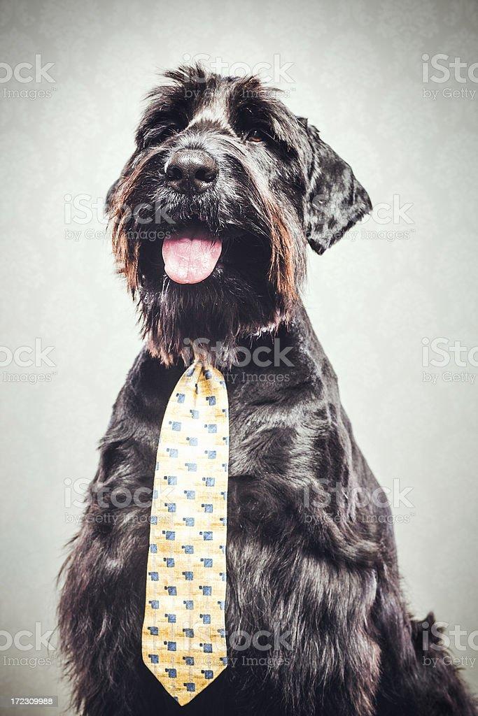 Giant Schnauzer With Tie royalty-free stock photo