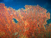Gorgonian Fan Coral  (Annella Mollis) Underwater nearby Koh Lipe, Thailand