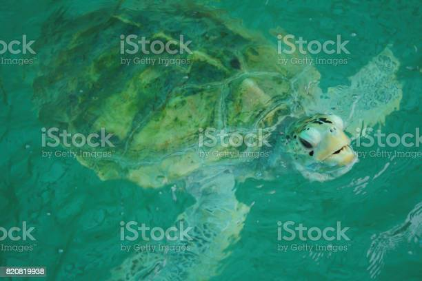 Giant sea turtle is swimming in a turtle conservation tank picture id820819938?b=1&k=6&m=820819938&s=612x612&h=ruvo6vafybiacdtezz9wxdjcgwmiizbr3b8 j5ny0he=