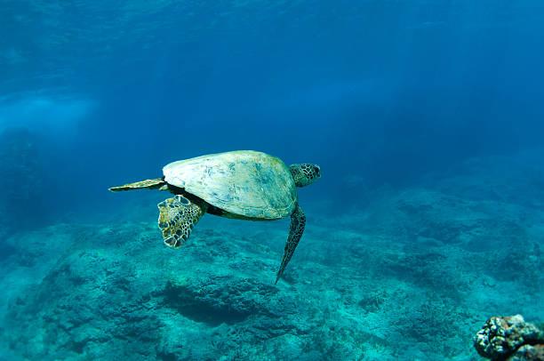 Riesige Meeresschildkröte – Foto