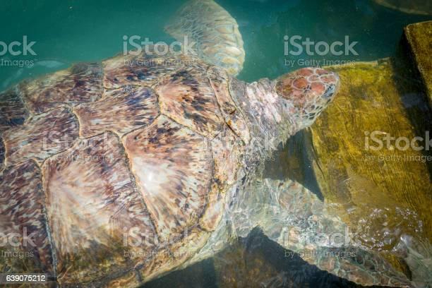 Giant sea turtle swimming picture id639075212?b=1&k=6&m=639075212&s=612x612&h=6zul20zpv3x34xpkbyjtfltge6oudizurbnxrjcdpmg=