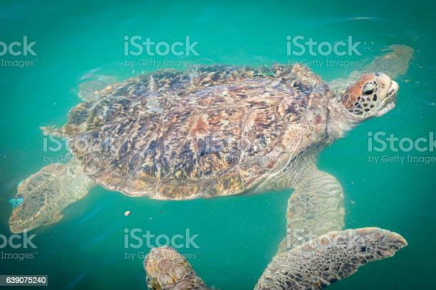 Giant sea turtle swimming picture id639075240?b=1&k=6&m=639075240&s=612x612&h=vla9gzjxz0tmj2jbusfhyr3z9klvnxoiqdluvjxhcbs=