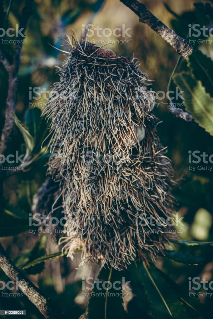 Giant seed pod in the outback stock photo