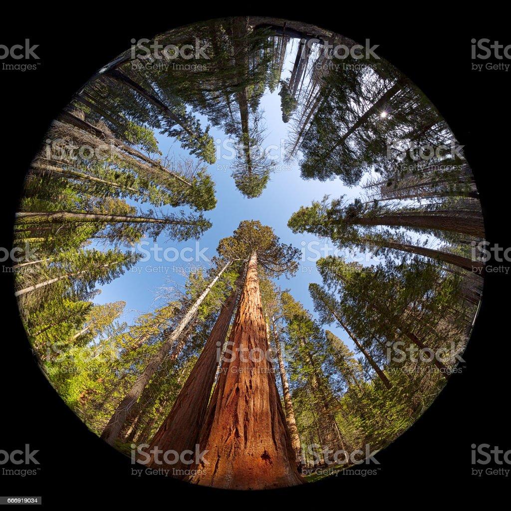 Giant Sequoia Fisheye stock photo