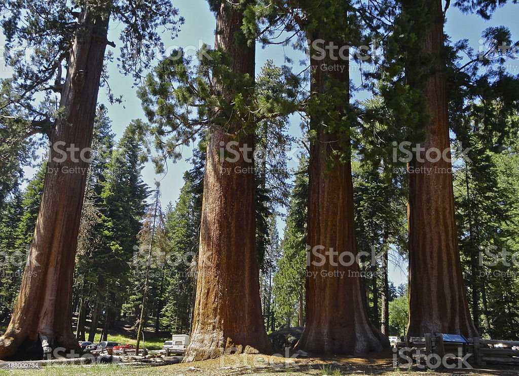 Giant Sequoia Forest stock photo