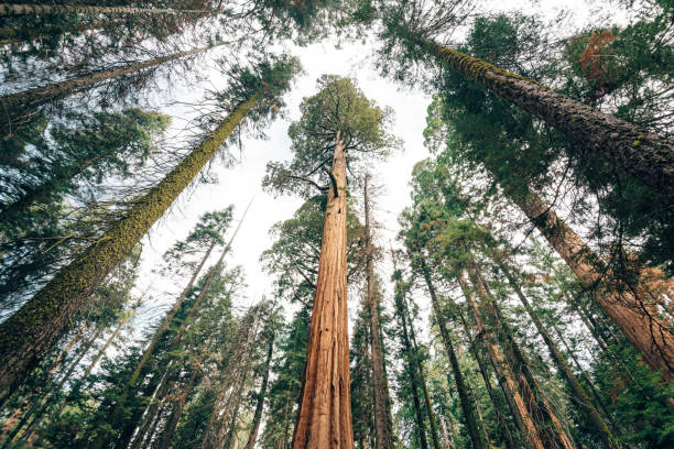 giant sequoia from below stock photo